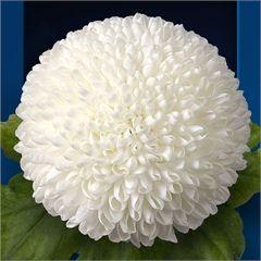Lunar Bud Chrysanthemum